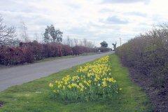 Rollesby Road daffs